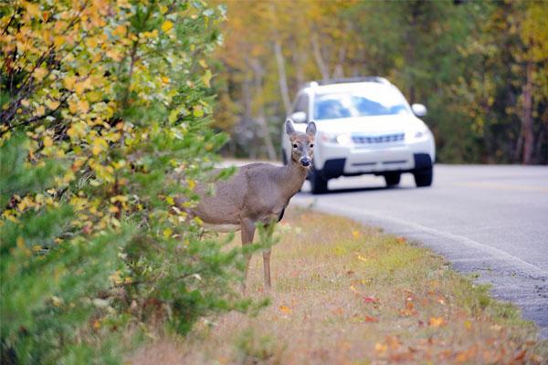 Choques contra animales y las coberturas de los seguros de coche