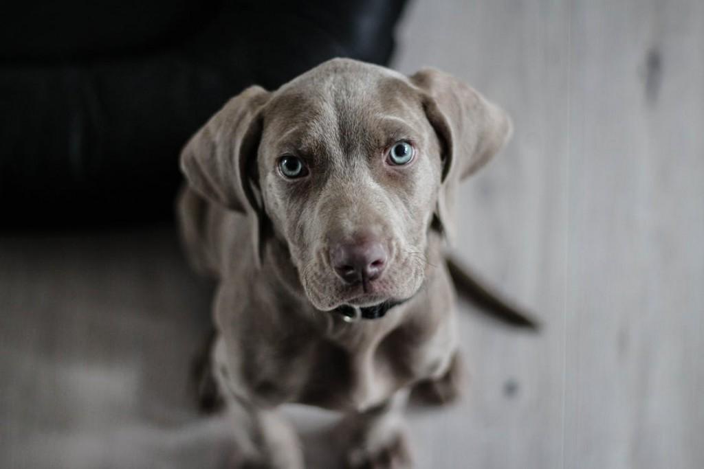 razas de perro